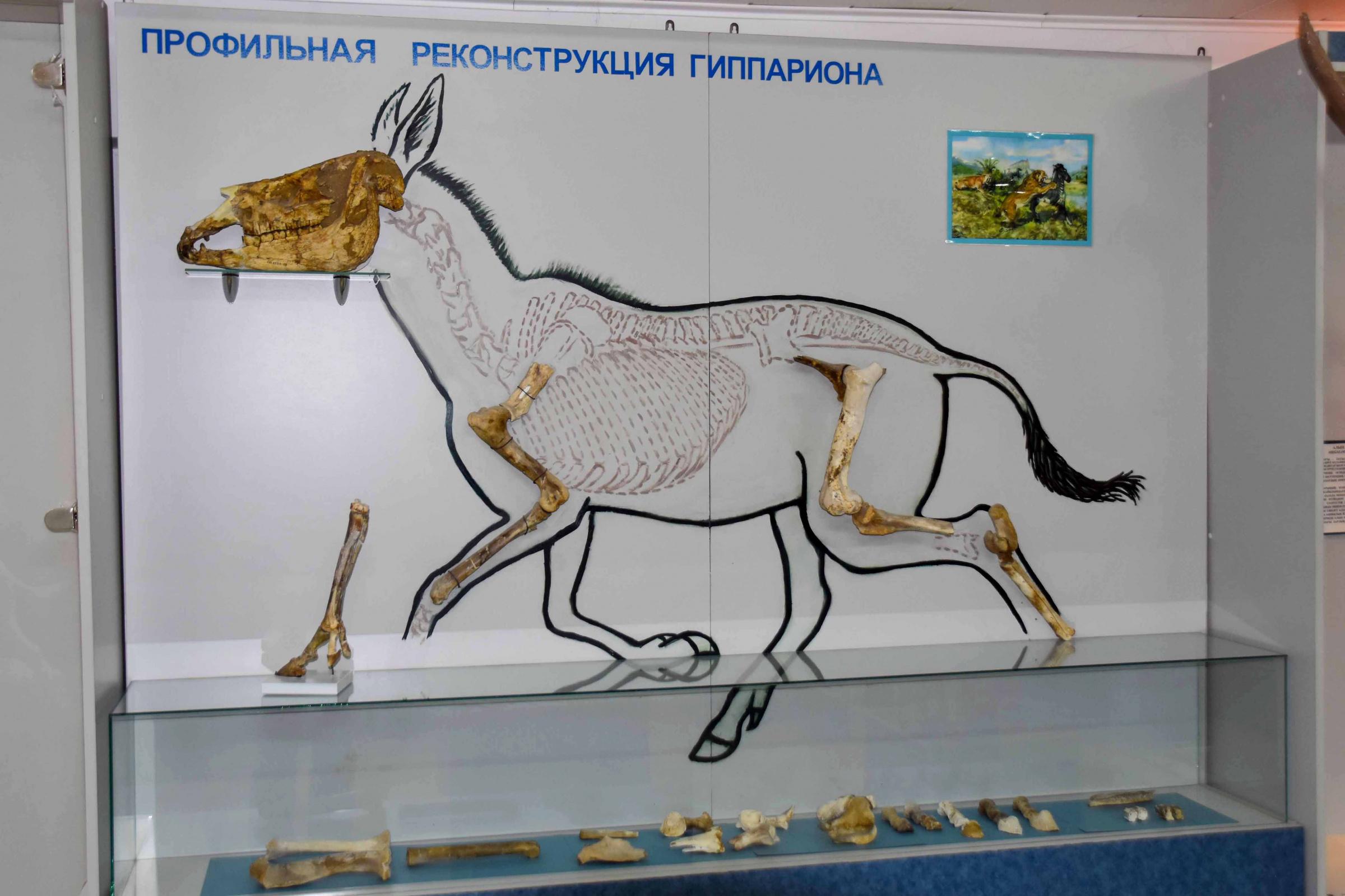 Стенд «Профильная реконструкция гиппариона» в музее Павлодарского государственного педагогического университета