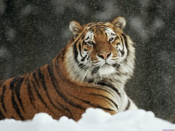 Амурский тигр (лат. Panthera tigris altaica)