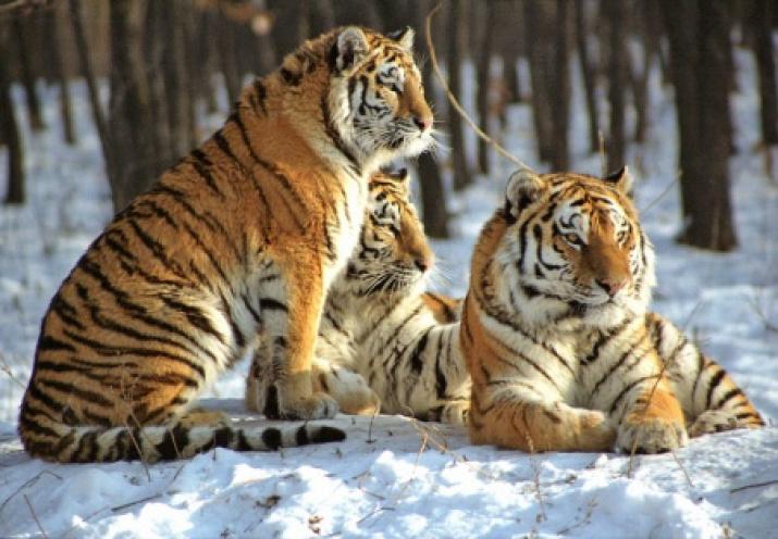 Амурские тигры обитают и в Китае, но там их популяция составляет около 20 особей