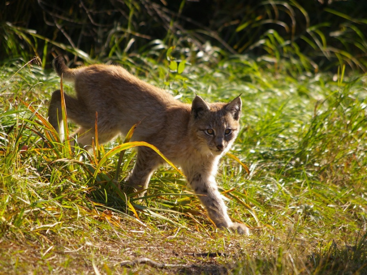 The lynx cub comes to a human habitation for the first time. Photo: Alexander Kashcheev