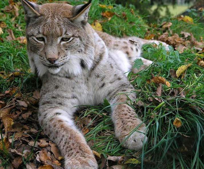 About The Lynx Russian Geographical Society