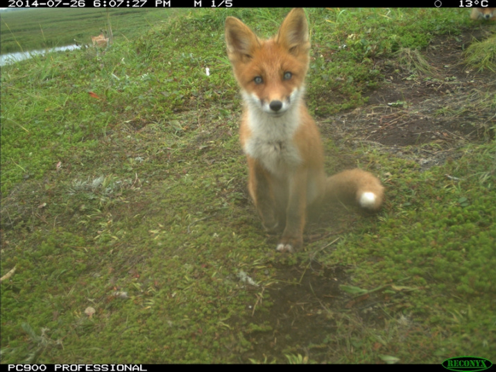 Ear-flaps the fox. Picture taken with camera traps