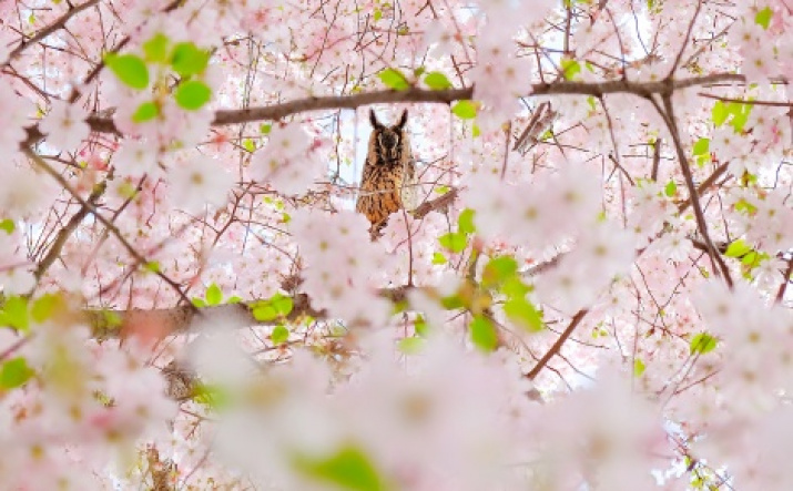 «Owl is the mistress of the cherry blossom.» Author Mansur Serganov, the finalist of the third photo contest of the Russian Geographical Society «The most beautiful country»