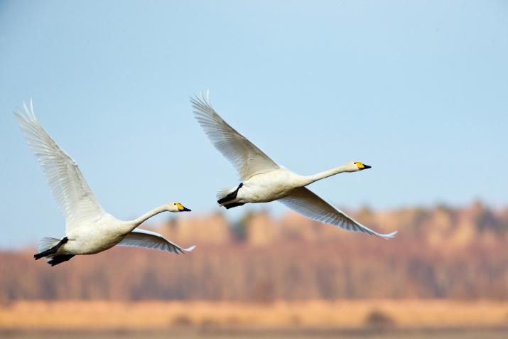Лебеди-кликуны. Ленинградская область. Фото: Константин Шатенев