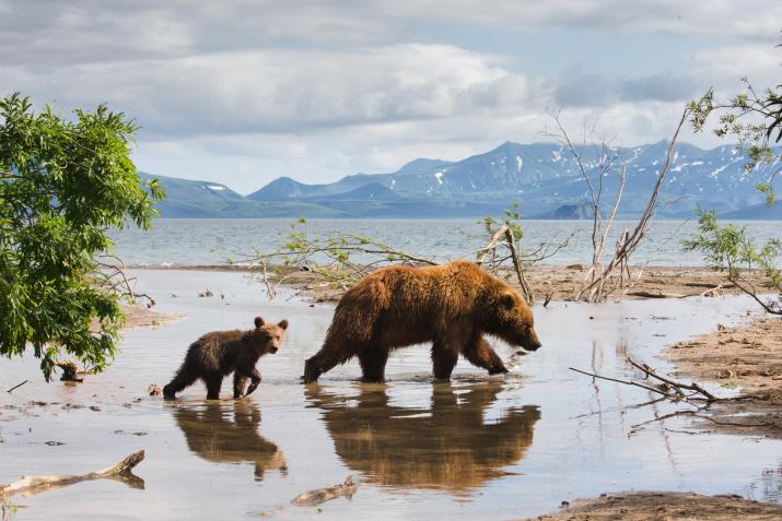 Бурые медведи. Камчатский край. Фото: Константин Шатенев