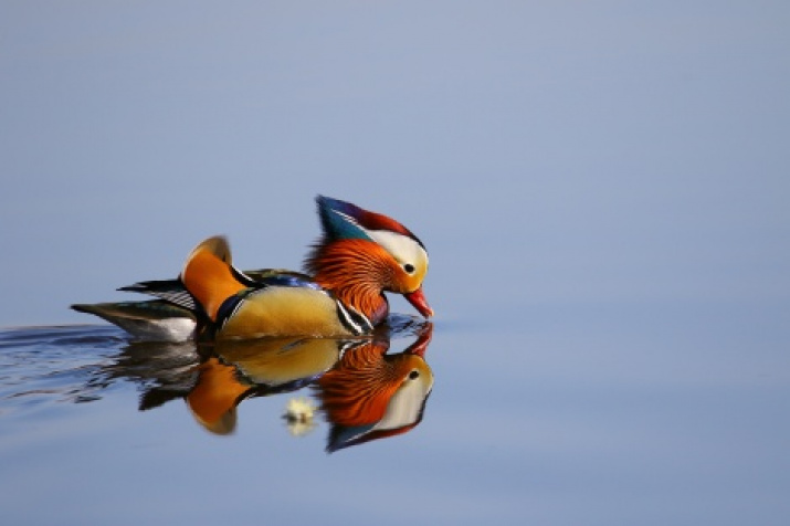"""Mandarin Duck"". Photo: Pavel Petrushin, the finalist of the II RGS photo contest ""The Most Beautiful Country"""