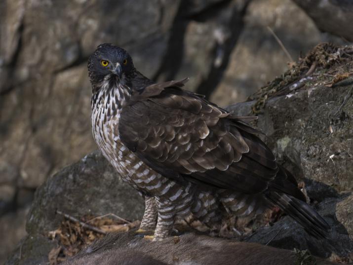 Хохлатый орёл. Фото: Сергей Горшков