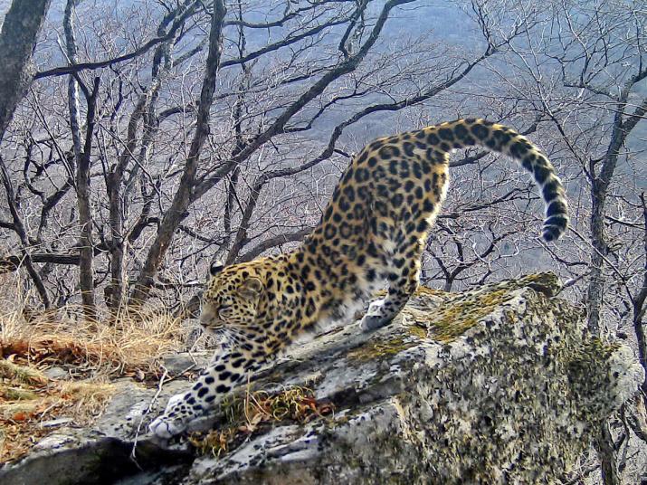 """Фото предоставлено пресс-службой ФГБУ """"Земля леопарда"""""""
