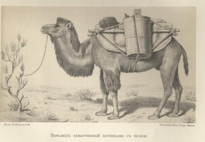 Верблюд, завьюченный бочонками с водой. Рисунок В.И. Роборовского. Экспедиция Н.М. Пржевальского. Изображение из Архива РГО
