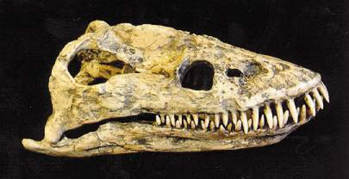 Череп плезиозавра. Фото предоставлено Вятским палеонтологическим музеем