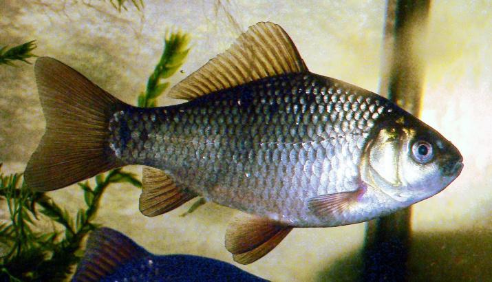 Золотой карась. Фото: wikipedia.org