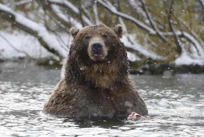Медведь, Кроноцкий заповедник. Фото: Игорь Шпиленок