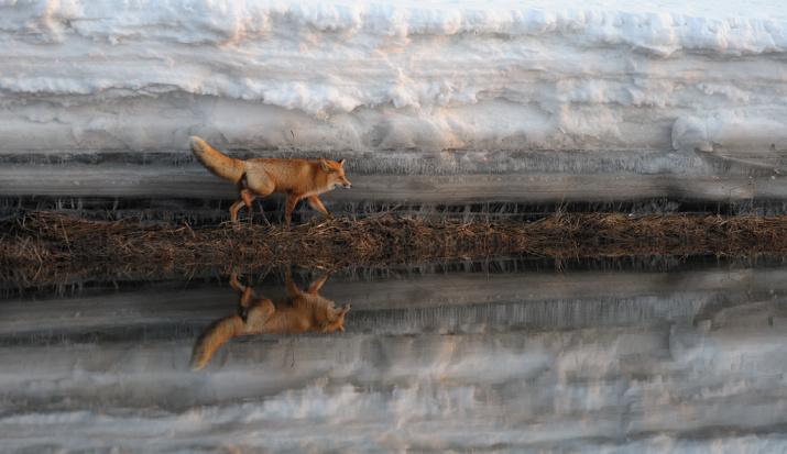 Лис на реке Кроноцкой. Фото: Игорь Шпиленок