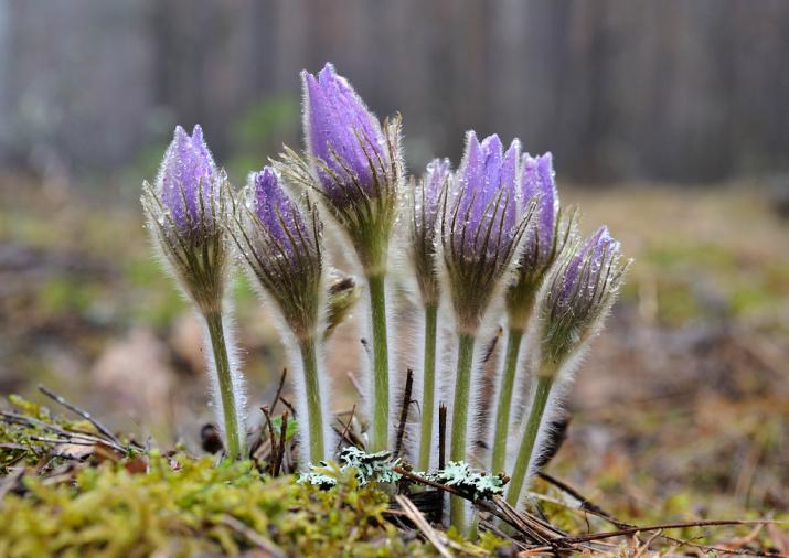 Сон-трава. Брянский лес. Фото: Игорь Шпиленок
