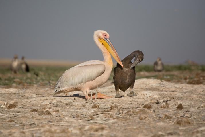 """В заповеднике """"Чёрные земли"""" самая крупная в России колония редких розовых пеликанов. Фото: Мосейкин В."""