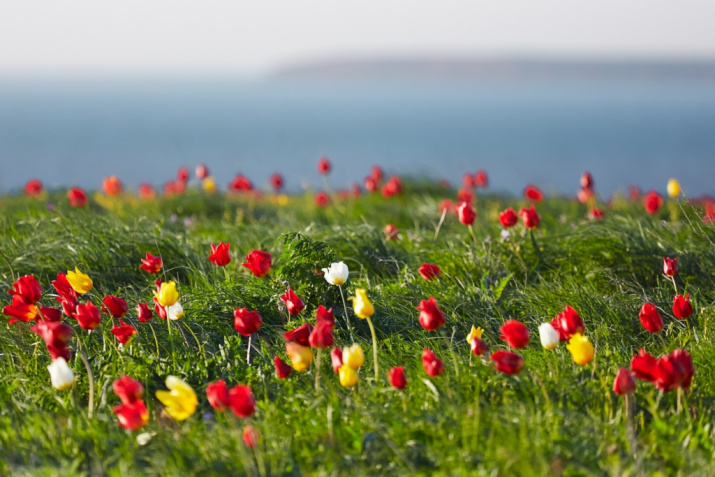 """Цветение тюльпанов в заповеднике """"Чёрные земли"""". Фото: Лагунин В."""