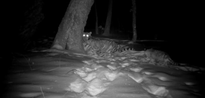 "Тигрица Светлая с тигрятами. Фото предоставлено Центром ""Амурский тигр"""