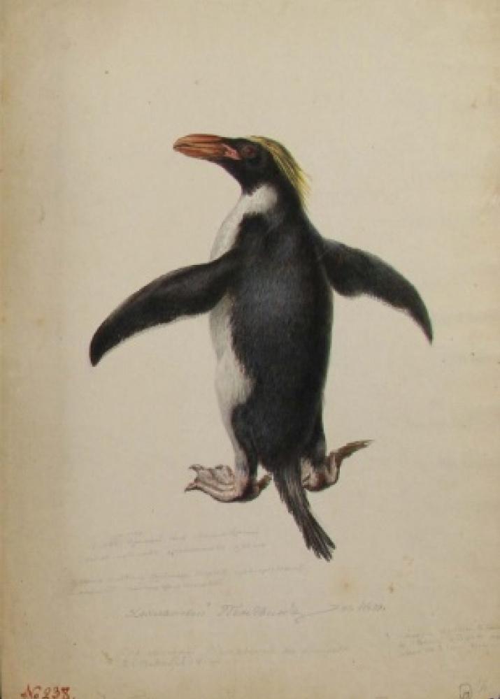 Хохлатый пингвин. Акварель из альбома Павла Михайлова. 1819 г.