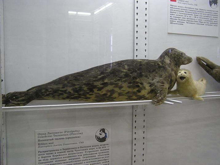 Каспийский тюлень. Фото: wikipedia.org