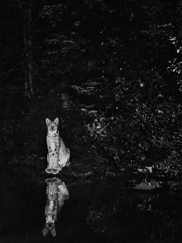 Рысь на берегу лунного озера, Онтарио, Канада. 1902 год. Фото: Джордж Ширас, с сайта rosphoto.com