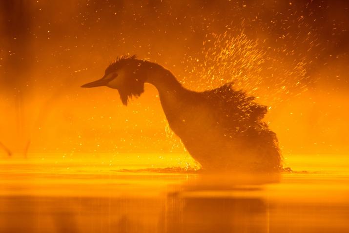 Чомга. Фото: Дмитрий Вилюнов