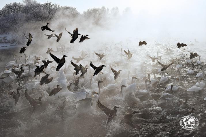 Лебединая сказка. Фото: Владимир Вяткин