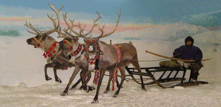 Оленья упряжка. Экспозиция музея истории кольских саамов. Фото: Андрей Сорокин, с сайта wikipedia.org