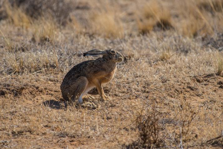 Любопытный заяц