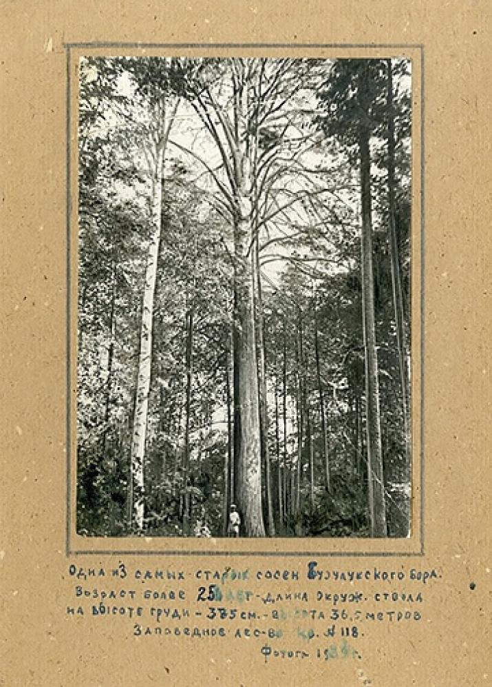 Сосна-великанша. Боровое-Опытное участковое лесничество, квартал 218 (бывшее Заповедное лесничество, квартал 118). Фото: 1939 г.