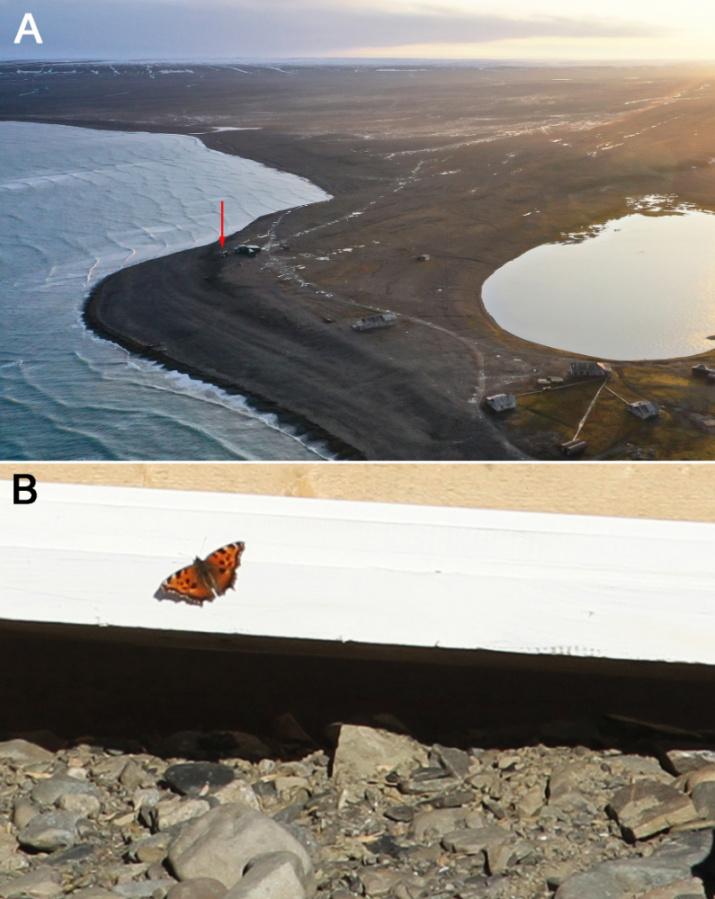 Бабочка Nymphalis xanthomelas и место ее обнаружения. Фото: ФИЦКИА УрО РАН