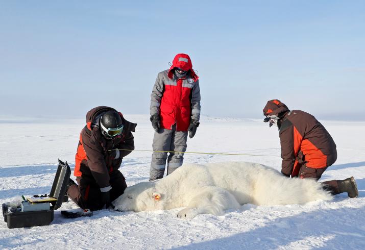 Учёные подчеркивают, что все исследования белых медведей проводятся самым гуманным способом. Фото: Гавриил Григоров