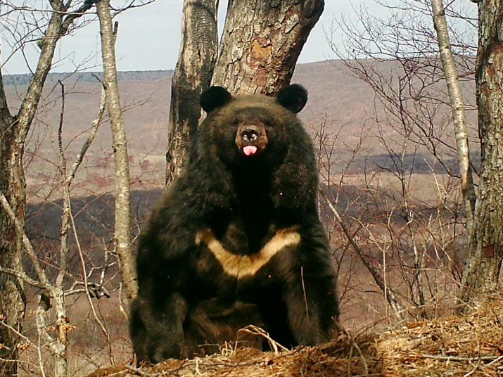 """Белогрудый медведь. Фото предоставлено нацпарком """"Земли леопарда"""""""