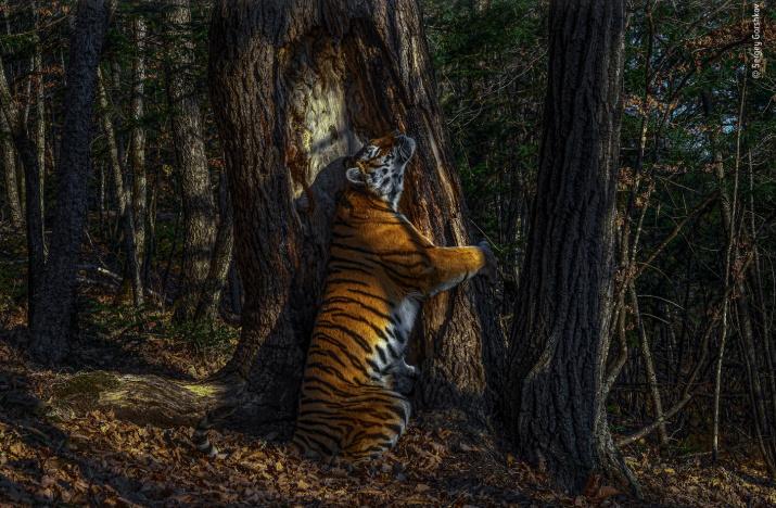 Фото: Wildlife Photographer of the Year 2020 / Sergey Gorshkov
