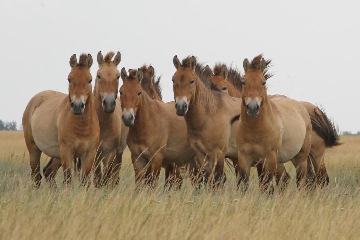 Лошадь Пржевальского Фото: Александр Чибилёв
