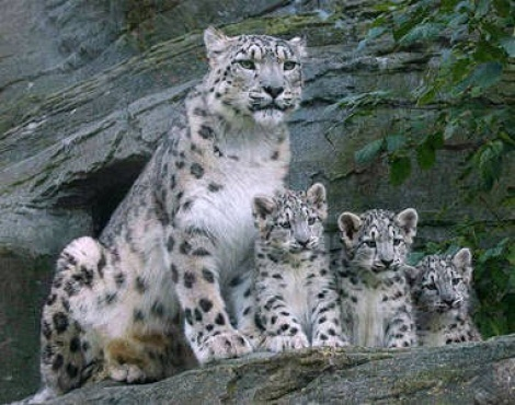 55 Facts about Snow Leopards  Owlcation
