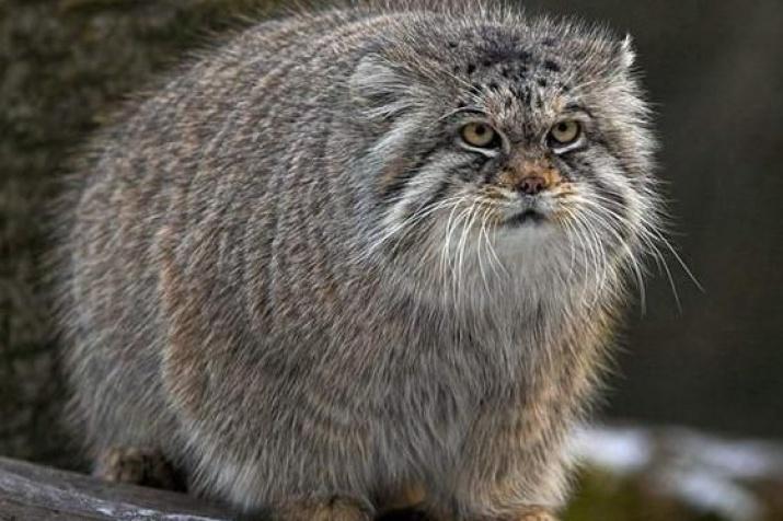 Сибирь дикие коты