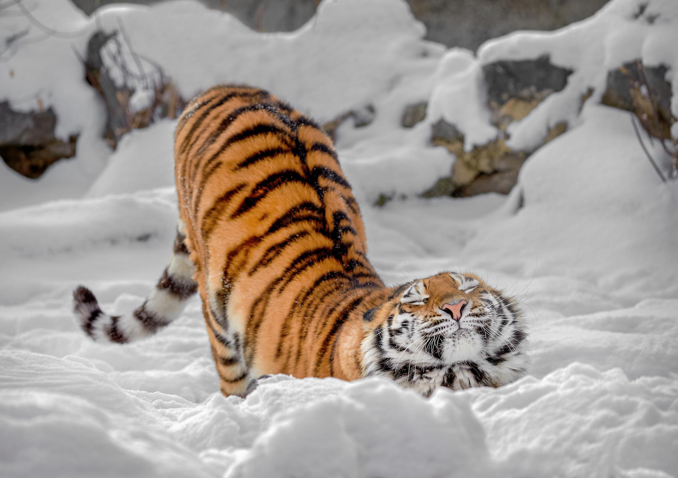Нега тигрицы | Русское географическое общество