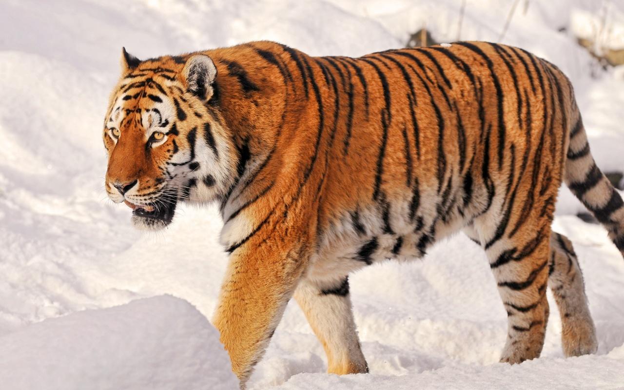 Уссурийский тигр видео фото 151-407