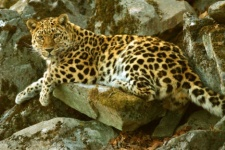 Amur leopard - the rarest subspecies of the cat family in the world