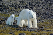 Female polar bear with two cubs, Hooker Island, Franz Joseph Land. Photo: www.rus-arc.ru, M. Ivanov