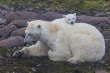 ''Медведица с медвежонком''
