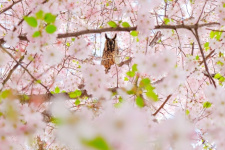 Owl-Mistress of Sakura. Photo of the finalist of the III photo contest of the Russian Geographical Society «The most beautiful country»