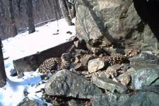 Бэри и Меамур. Фото предоставлено ФГБУ ''Земля леопарда''