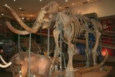 Churapchinsky mammoth