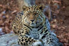 Дальневосточный леопард. Фото: Геннадий Юсин