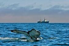 Горбатый кит, Анадырский залив, 2005 г. Фото: Александр Бурдин