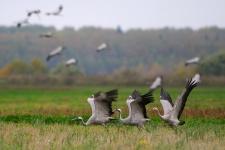 Фото с сайта craneland.ru. Автор: Игорь Барташов