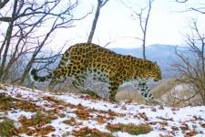 Один из безымянных леопардов - самка Leo 17F