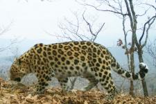 Леопардесса Нерусса. Фото предоставлено ФГБУ ''Земля леопарда''