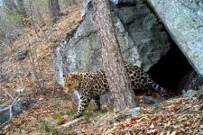 """Леопард Тайфун. Фото предоставлено ФГБУ """"Земля леопарда"""""""